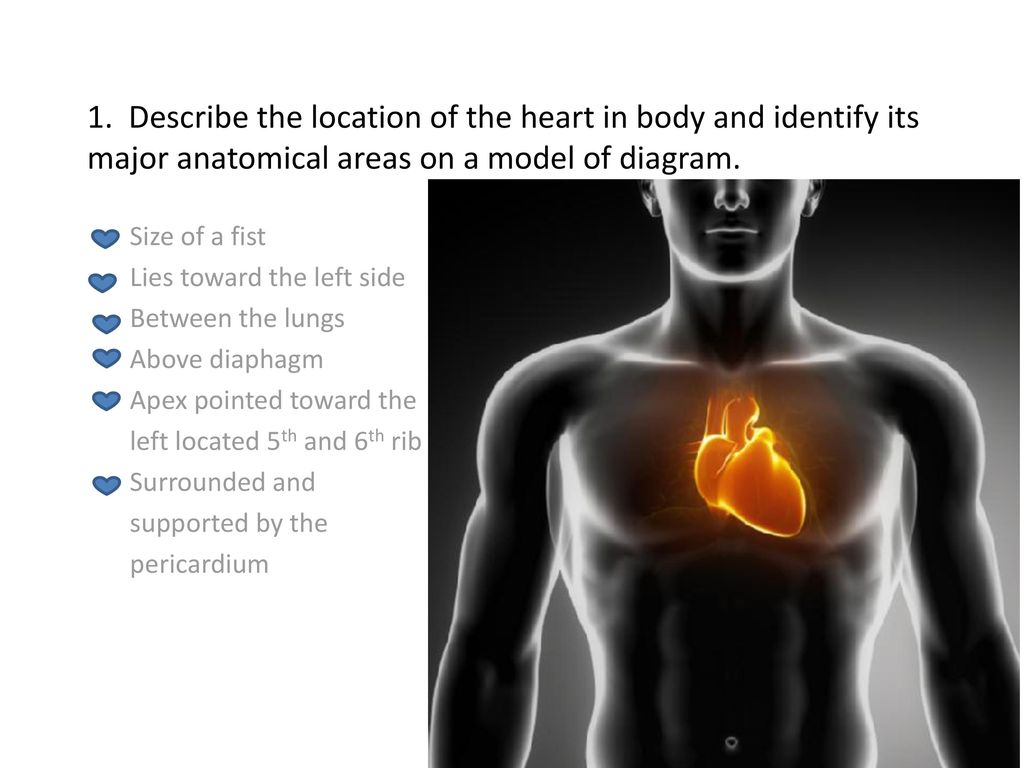 1 Describe The Location Of The Heart In Body And Identify Its Major