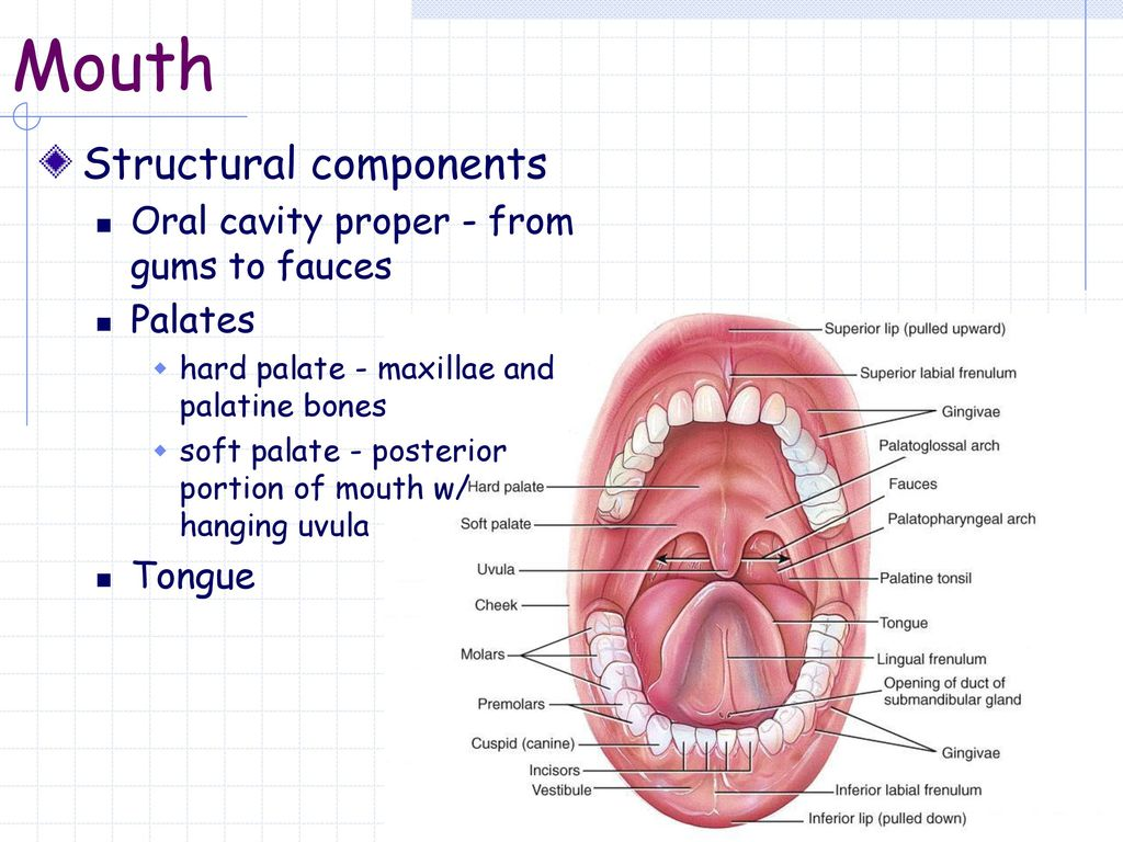Mouth Structural components Cheeks Lips (labia) - ppt download