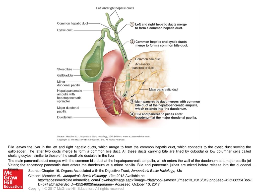 The Main Pancreatic Duct Merges With The Common Bile Duct At The