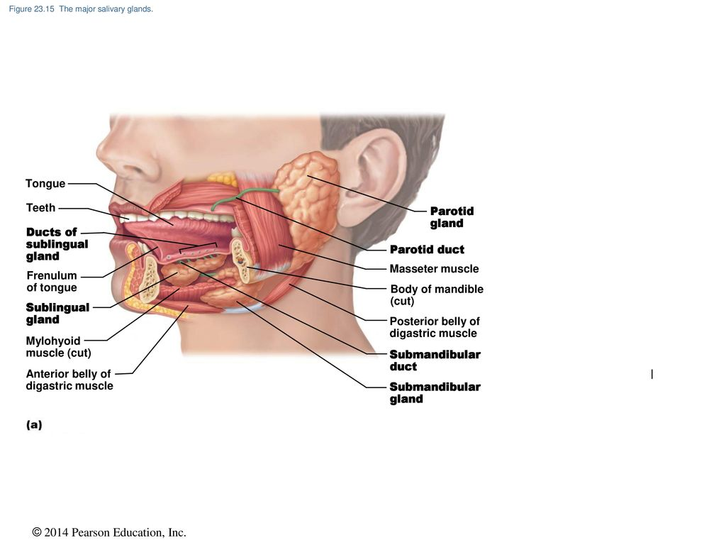 The Digestive System Pages , - ppt download
