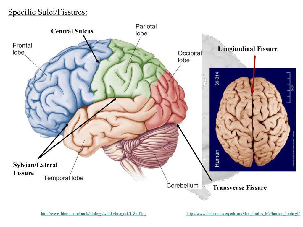 Diagram Of Brain Lobes Fissures Block And Schematic Diagrams