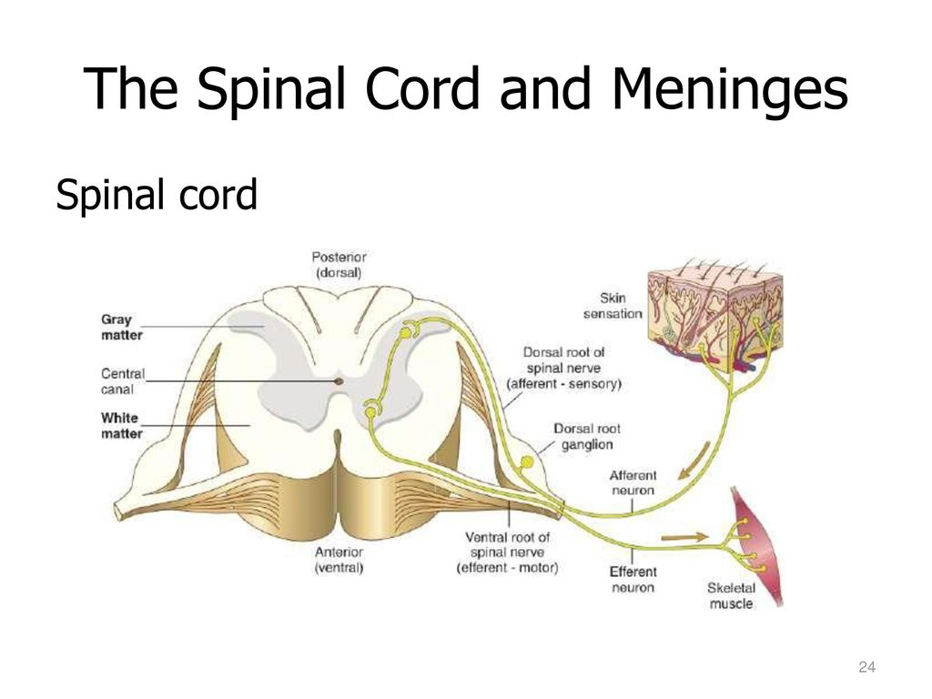 The nervous system central nervous system brain spinal cord ppt meninges are the three layers of connective tissue membranes that surround the brain ccuart Gallery