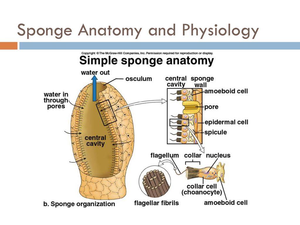 Sponges Phylum Porifera Ppt Download