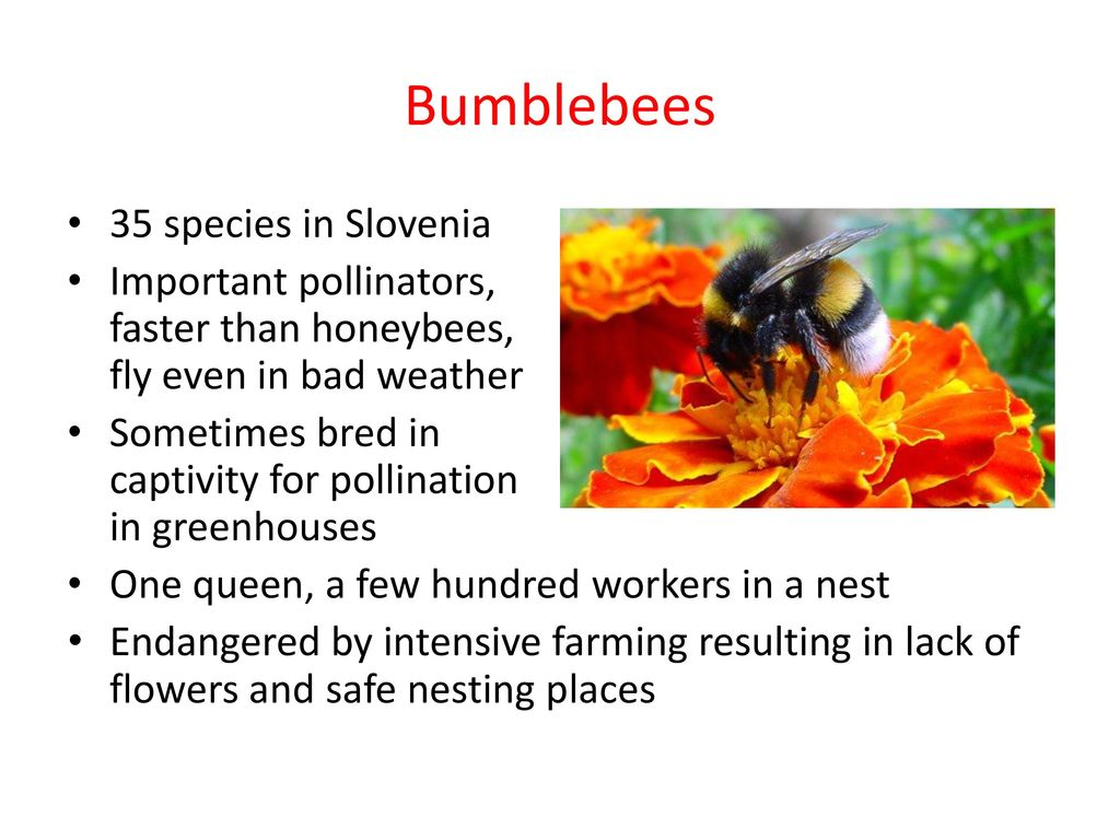 Recognition of bumblebee species by their buzzing sound
