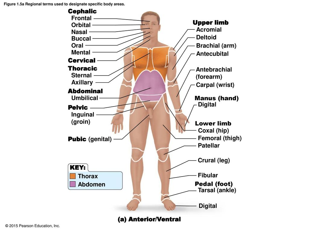 Anatomical Language Chapter 1 Pages ppt download