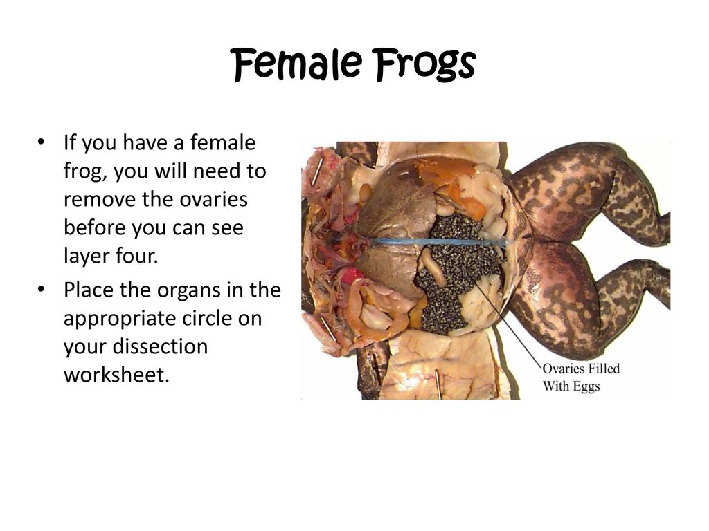 Frog Dissection Bailey Middle School. - ppt download