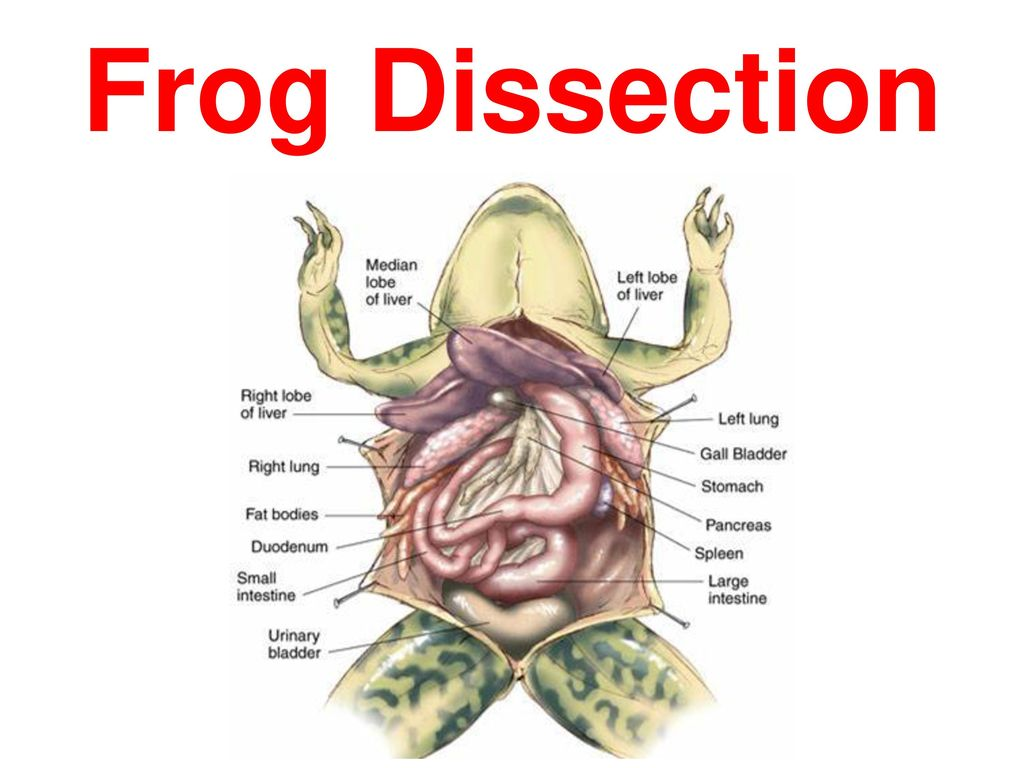 Image result for frog dissection