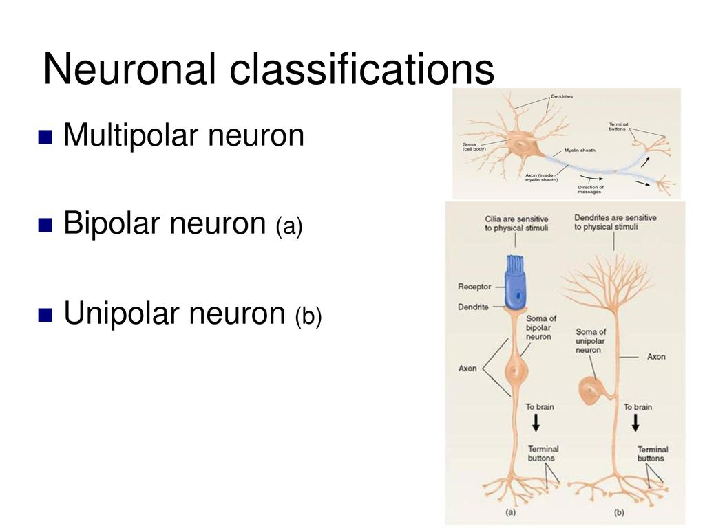 Neuronal Anatomy and Communication - ppt download