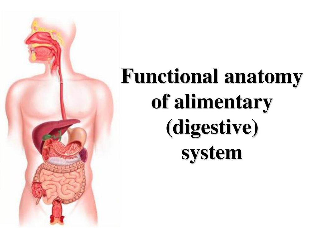 Functional Anatomy Of Alimentary Digestive Ppt Download