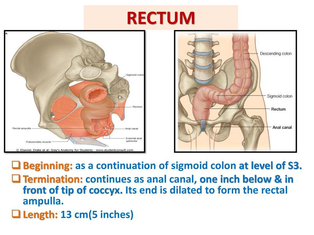 Berühmt Rectal Anatomy Picture Fotos - Menschliche Anatomie Bilder ...