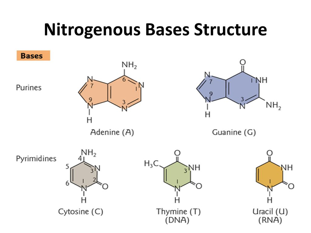 nucleotides structure and function ppt download