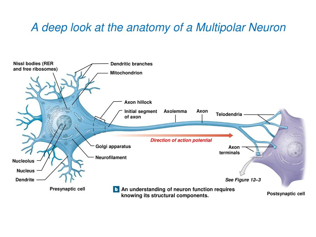 """Brain and Spinal Cord"""" - ppt download"""