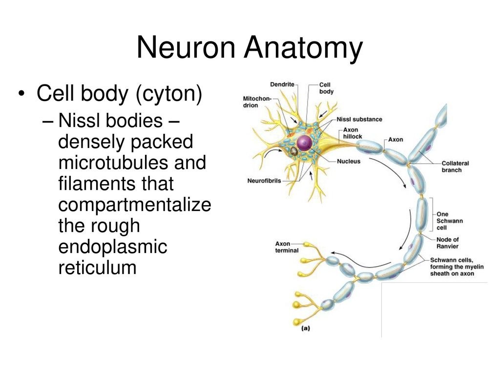 Fantastisch Neuron Anatomy And Physiology Review Sheet Exercise 13 ...