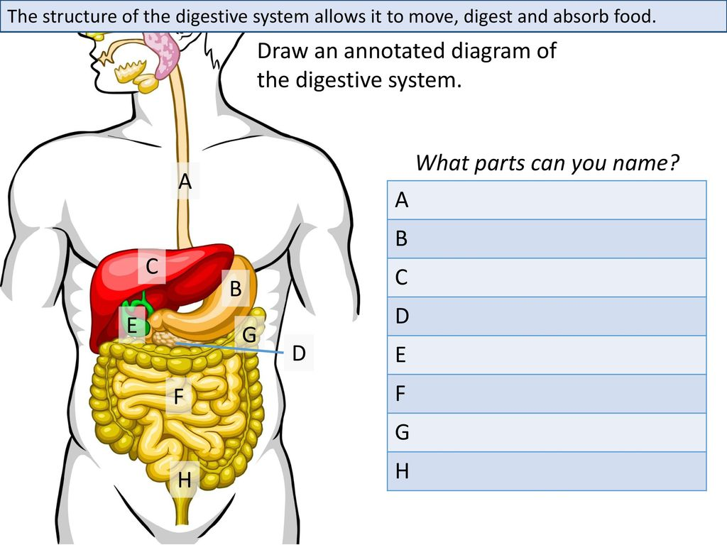 Draw An Annotated Diagram Of The Digestive System Ppt