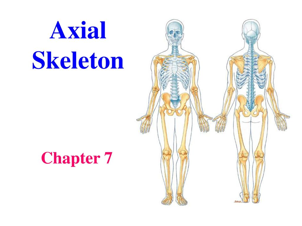 Axial Skeleton Chapter ppt download