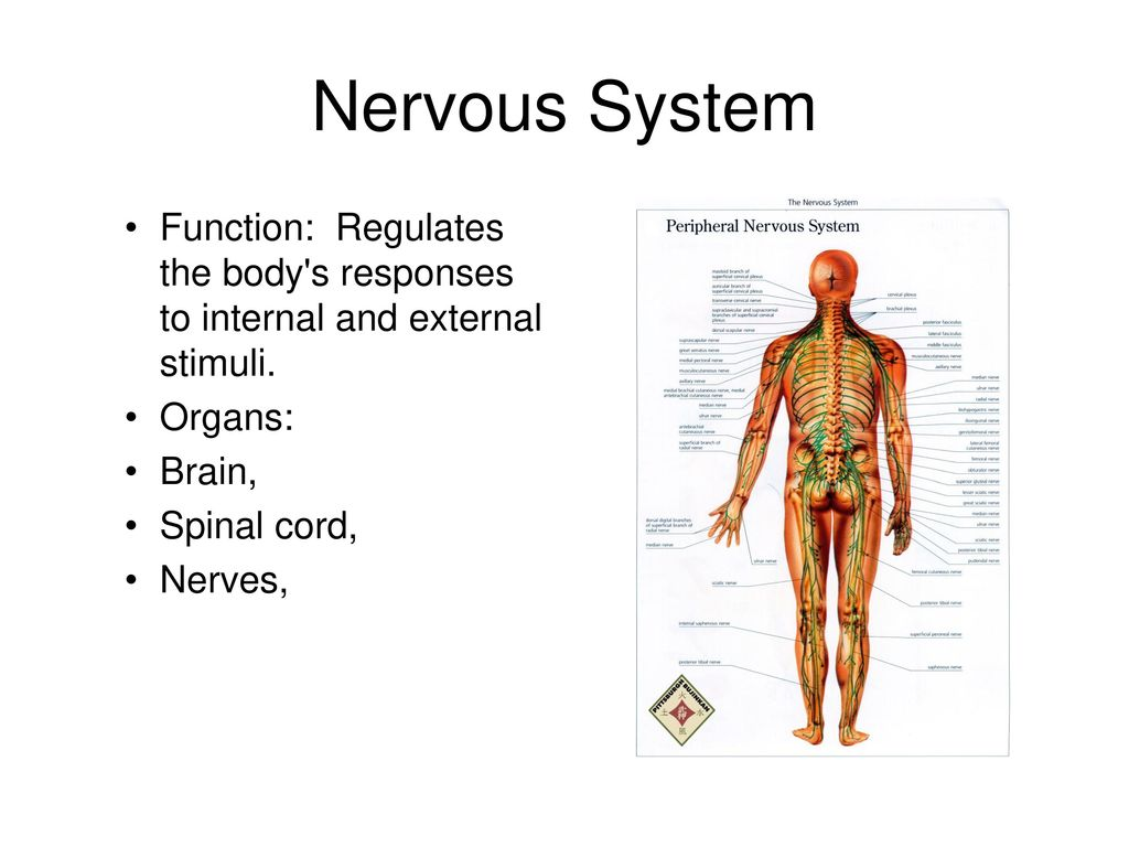 Integumentary System Function: Helps maintain homeostasis in your ...
