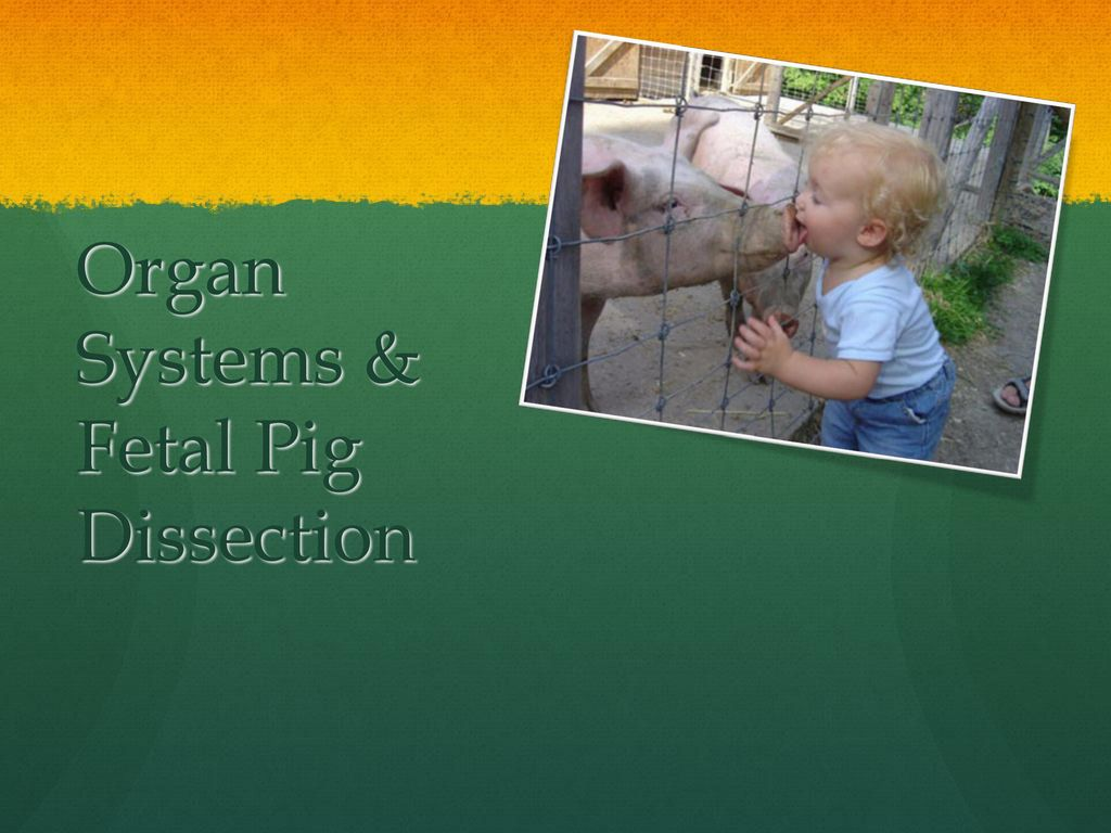 Organ Systems & Fetal Pig Dissection - ppt download