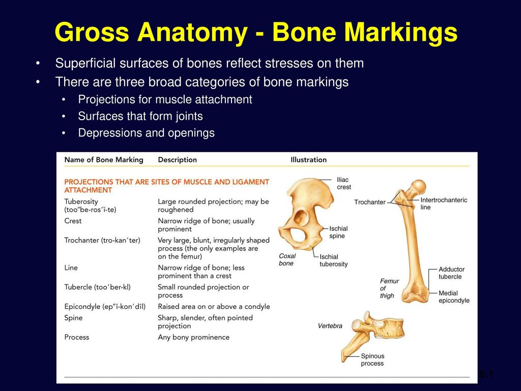 Bone Tissue and The Skeletal System - ppt download