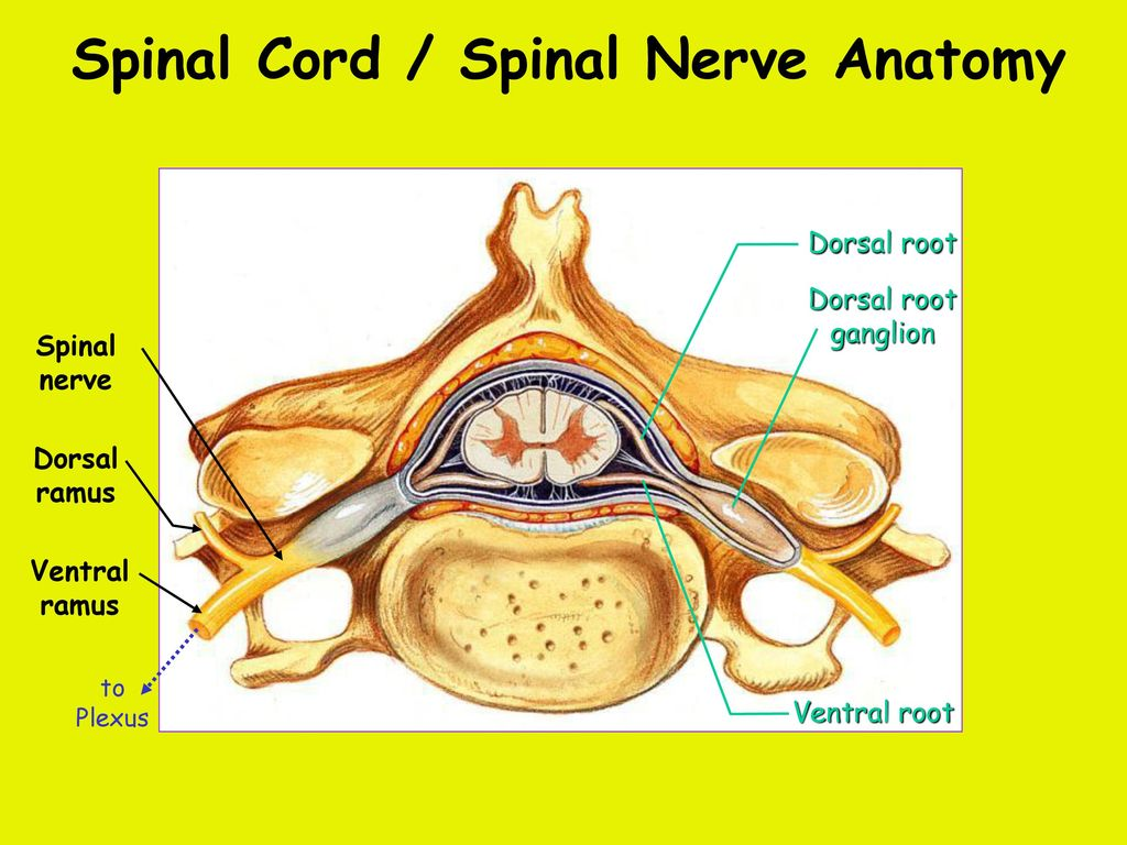 Week 11 The Spinal Cord & PNS. - ppt download