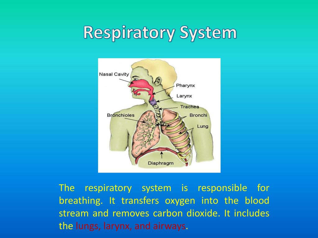 What Is An Organ A Group Of Tissues In Living Respiratory System Function And Diagrams Breathing Oxygen