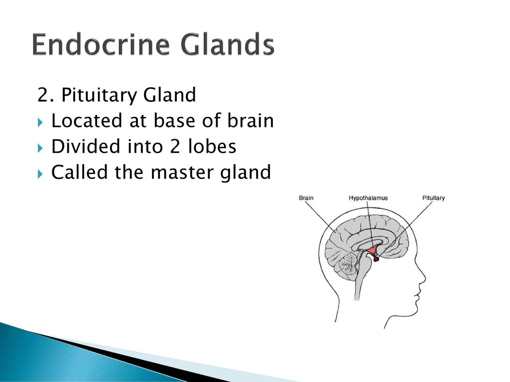 endocrine glands of the thorax