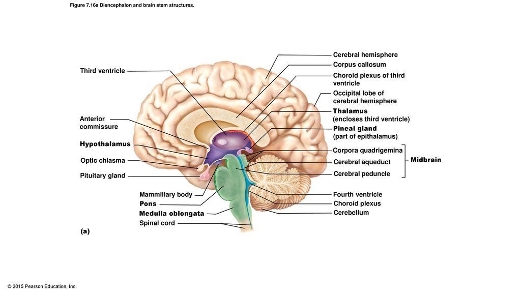 Luxury Cerebellum Anatomy Ppt Photo - Human Anatomy Images ...