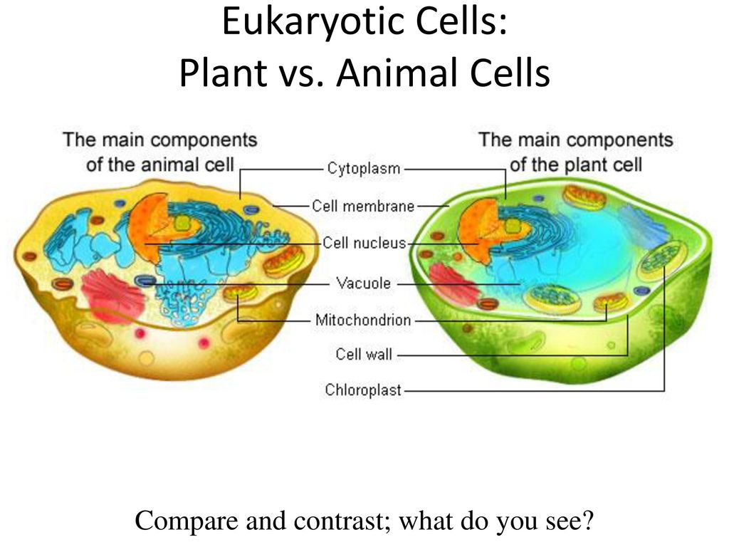 Cell Review Standard S7l2 Students Will Describe The Structure And Prokaryoticcelljpg 7 Eukaryotic