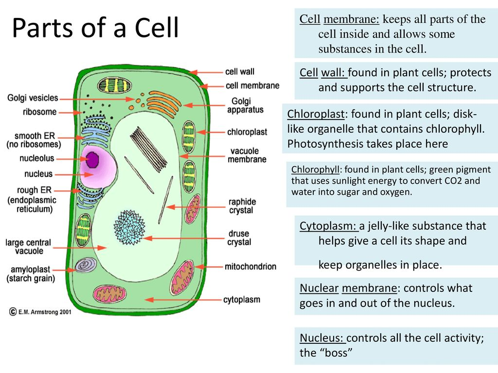 Cell Review Standard S7l2 Students Will Describe The Structure And Prokaryoticcelljpg 8 Parts