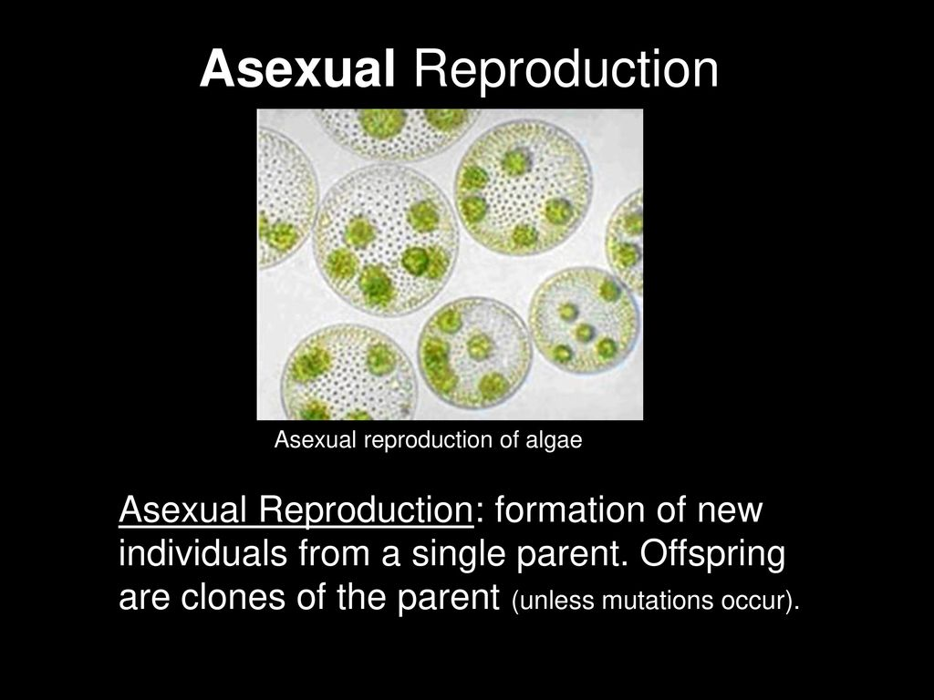 Rector asexual reproduction