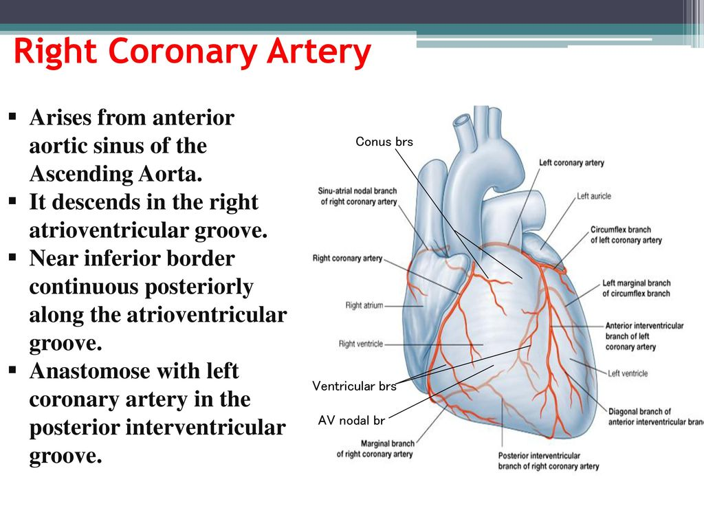 Blood supply of the Heart & Conduction System - ppt download