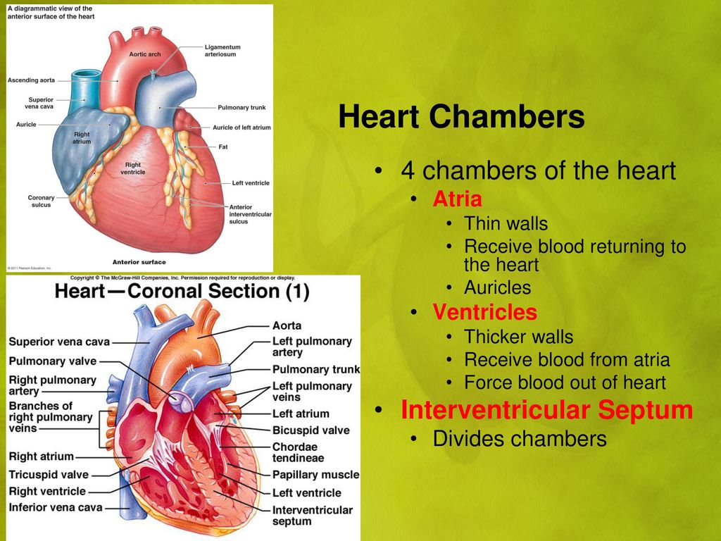 Cardiovascular System Pulmonary And Systemic Circuits Ppt Download