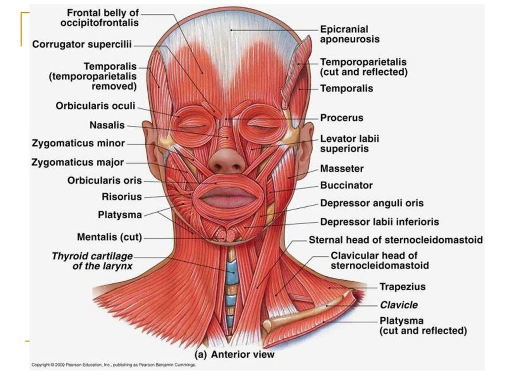 Head , neck, Shoulder, & Back Muscles - ppt download