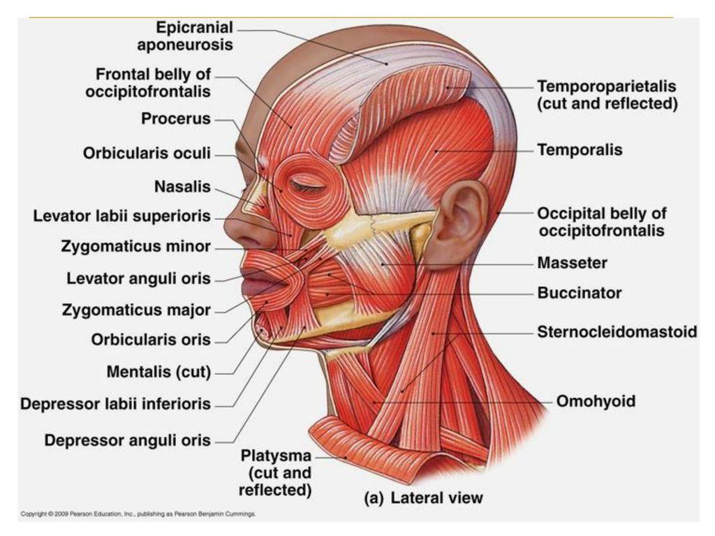 Head Neck Shoulder Back Muscles Ppt Download