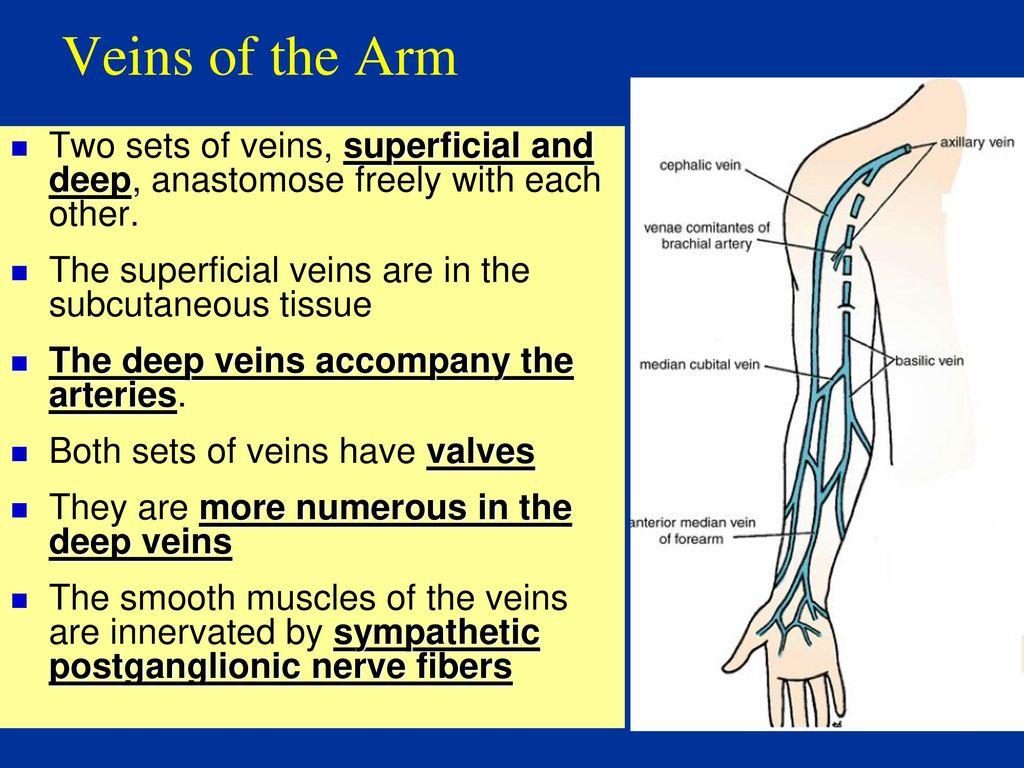 Anatomy of Arm Dr. Fadel Naim Orthopedic Surgeon Islamic University ...