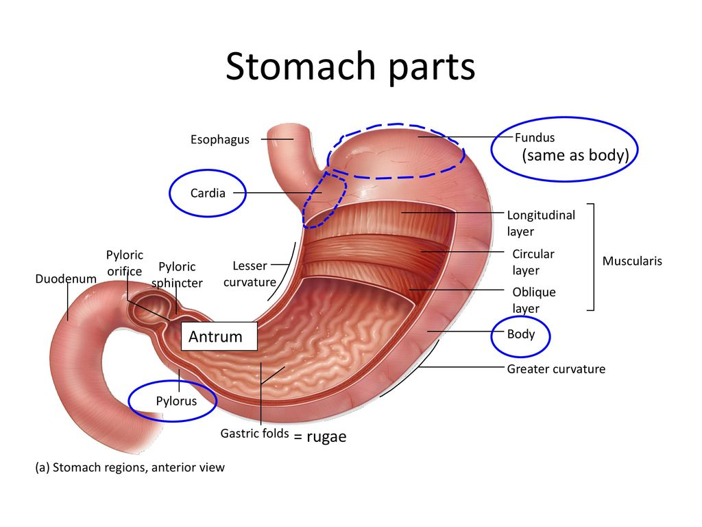 What does the stomach do? - ppt download