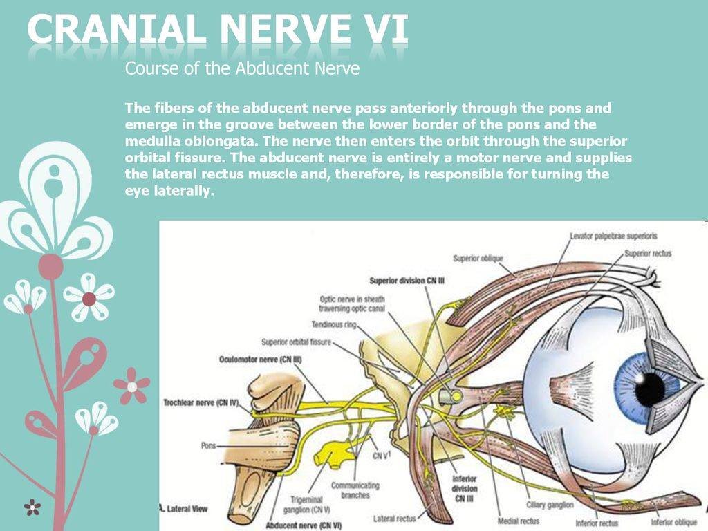 interior inferior vertebral ganglion interior angles » Full HD MAPS ...