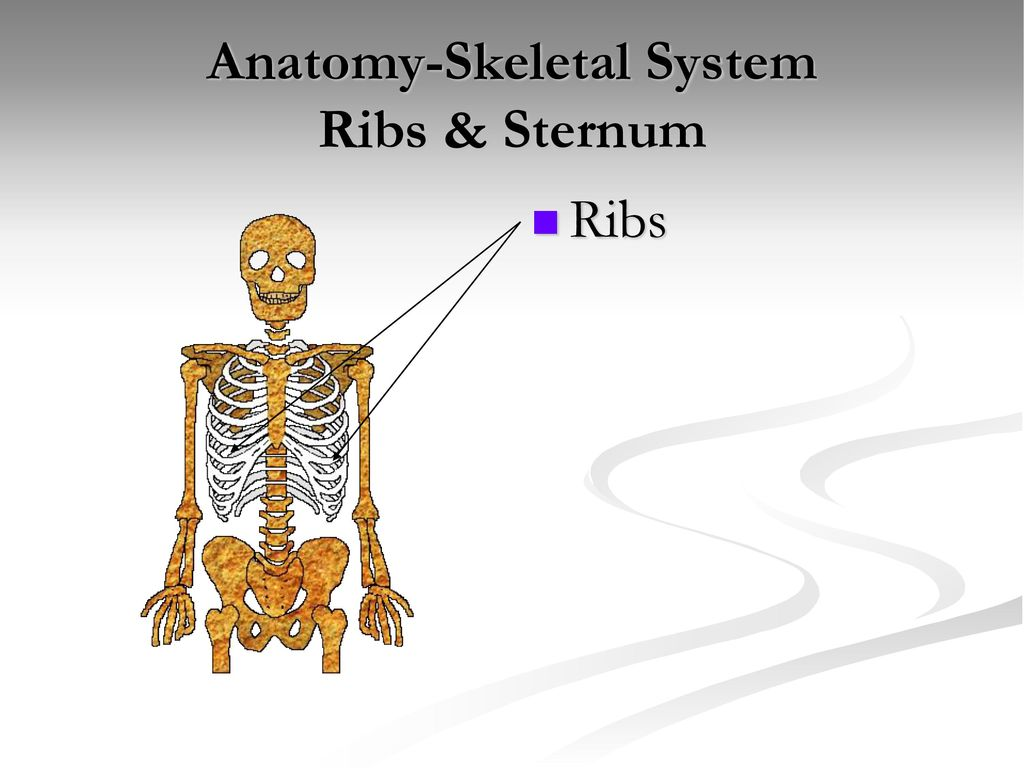 Anatomy Skeletal System Ppt Download