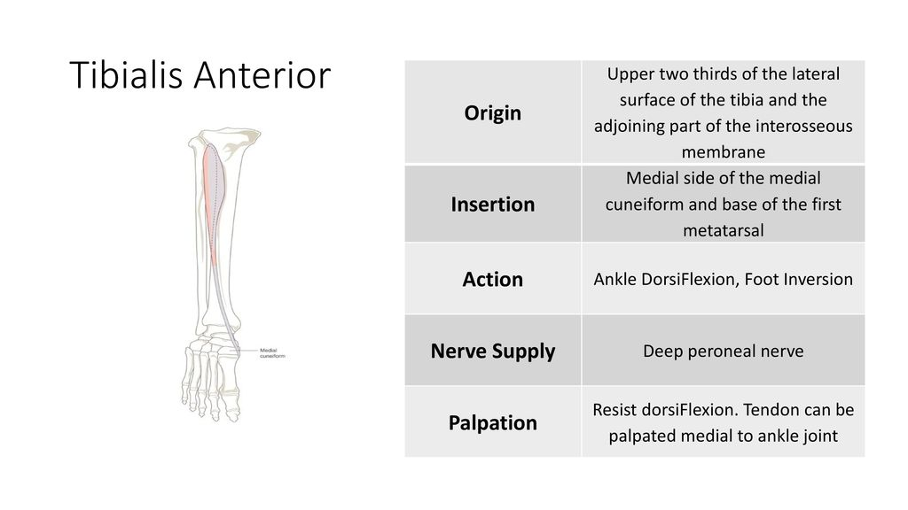 Foot and Ankle Muscular Anatomy - ppt download