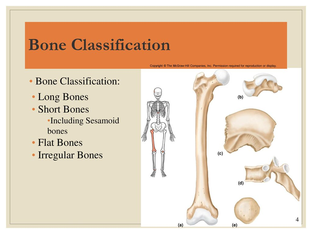 Honors Anatomy & Physiology Chapter 7 - ppt download