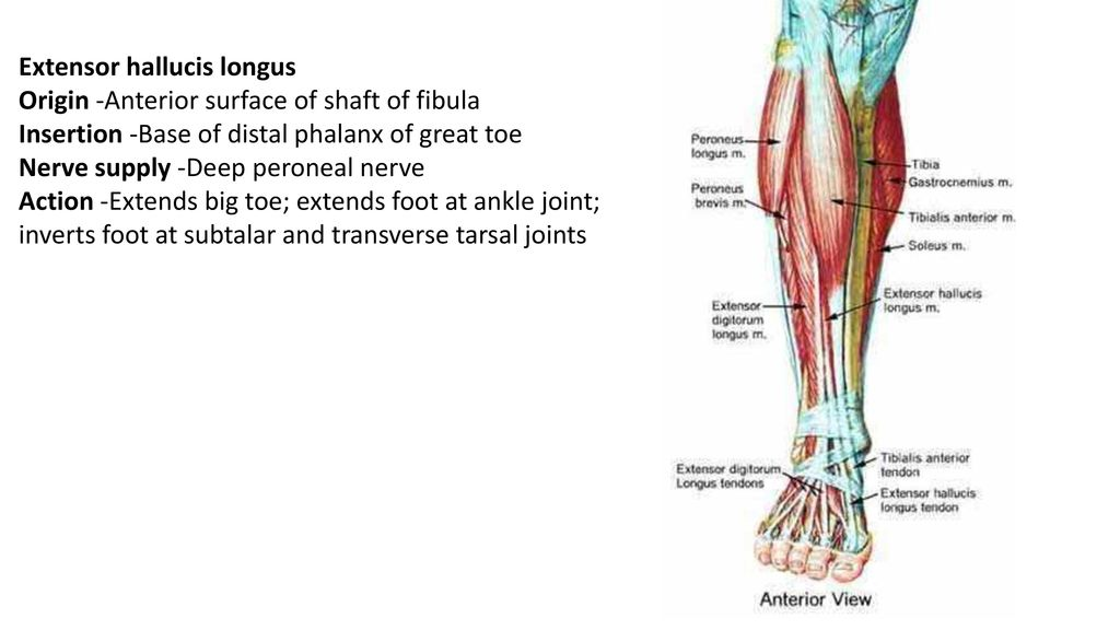 The Leg And Foot Ppt Download