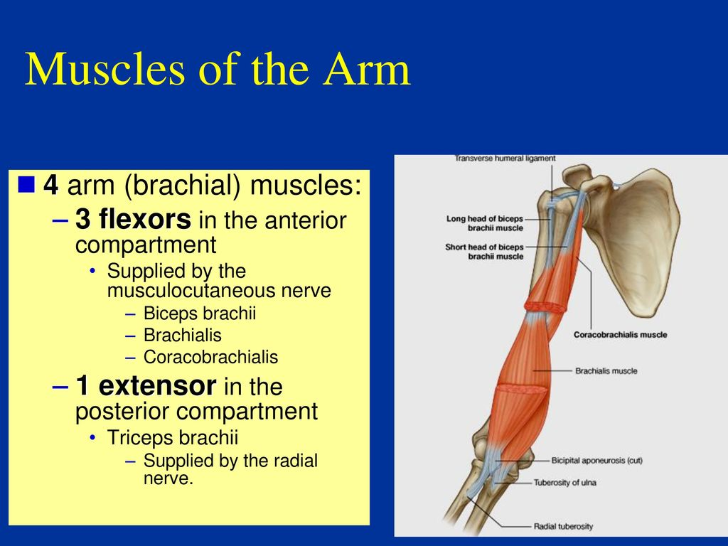 Anatomy Of Arm And Forearm - ppt download