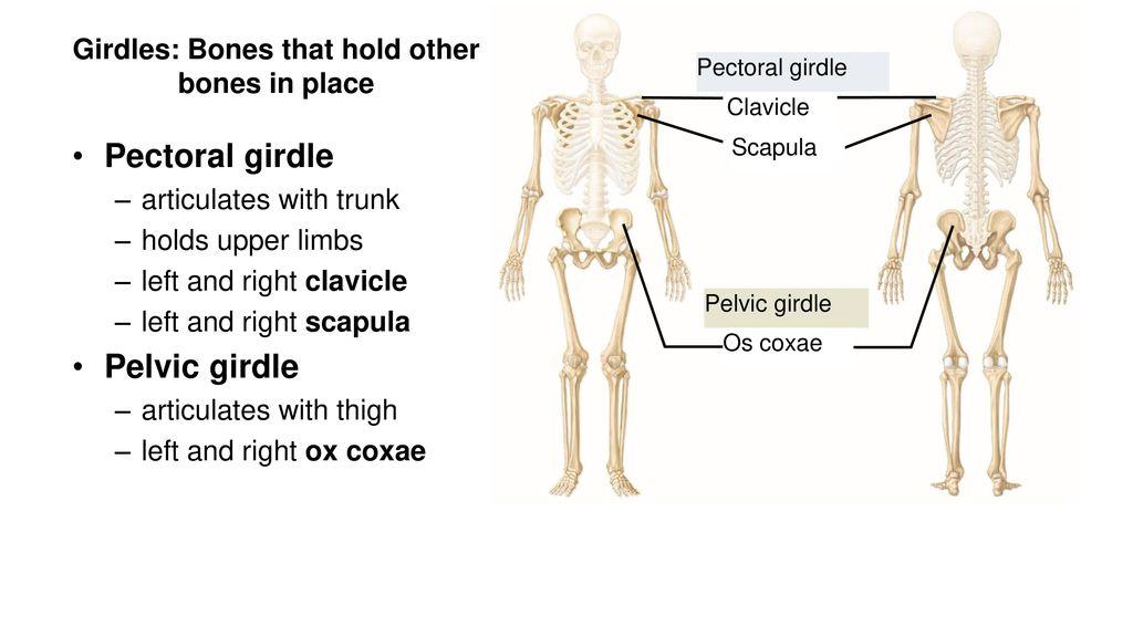 Chapter 8 Appendicular Skeleton