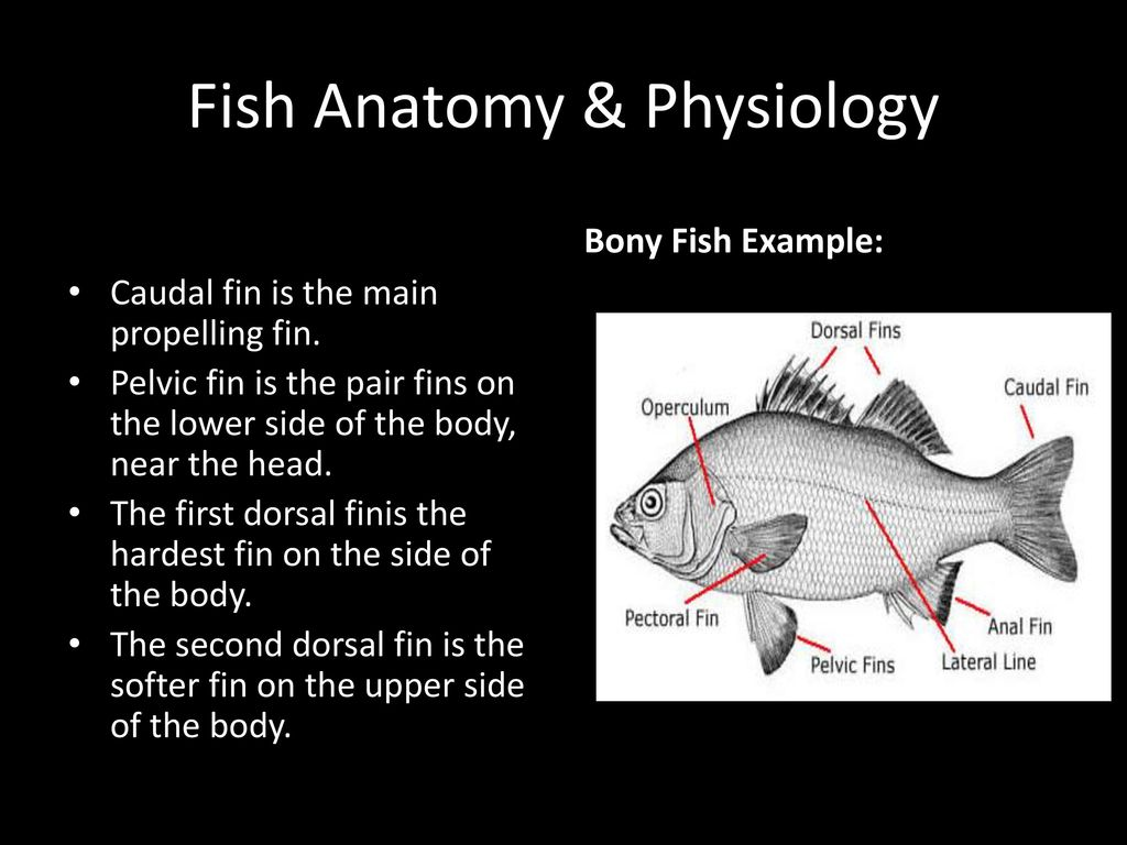 Fish Anatomy & Physiology - ppt download