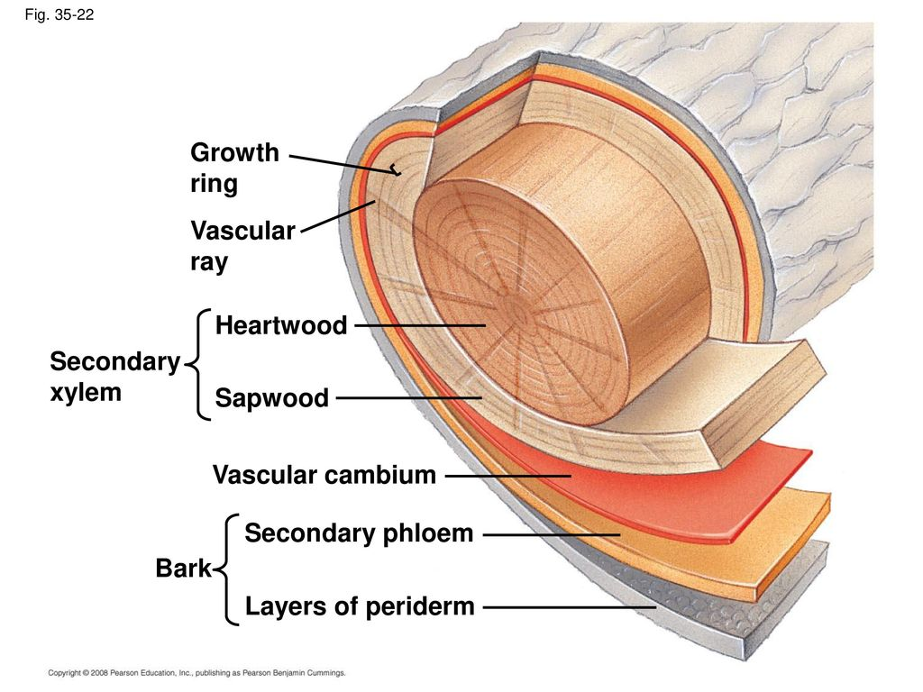 Plant Structure Growth And Development Ppt Download Tree Ring Diagram Vascular Ray Heartwood Secondary Xylem Sapwood