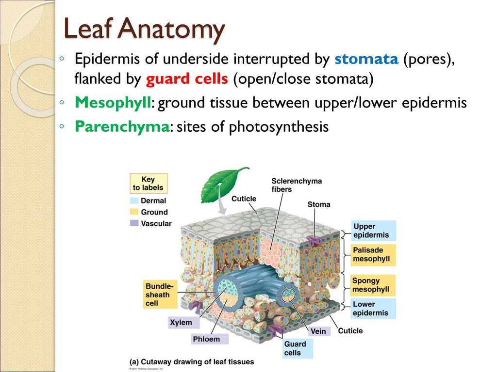 Beautiful Anatomy Of A Leaf Image - Physiology Of Human Body Images ...