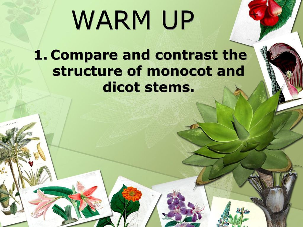 Dorable Anatomy Of Monocot And Dicot Stem Composition - Physiology ...