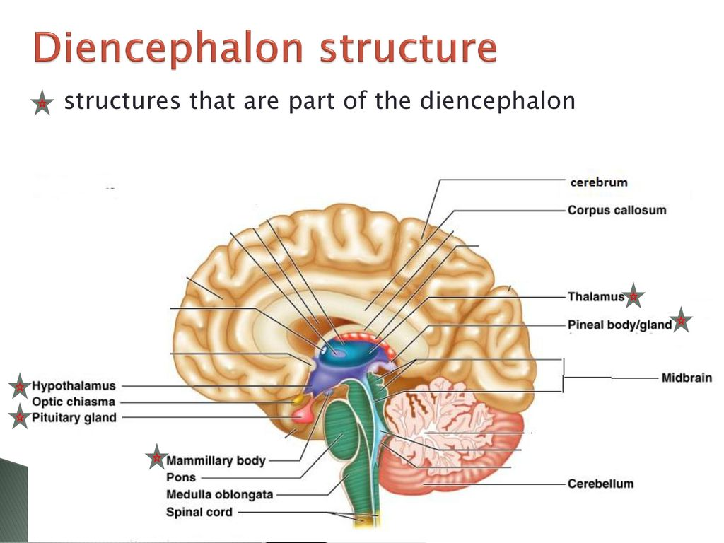 Brain structure and function ppt download diencephalon structure ccuart Images