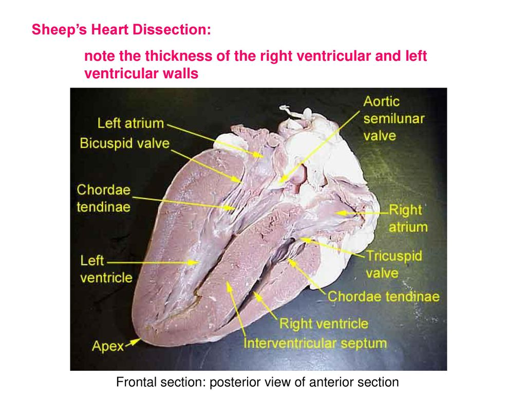 Human Anatomy and Physiology II - ppt download