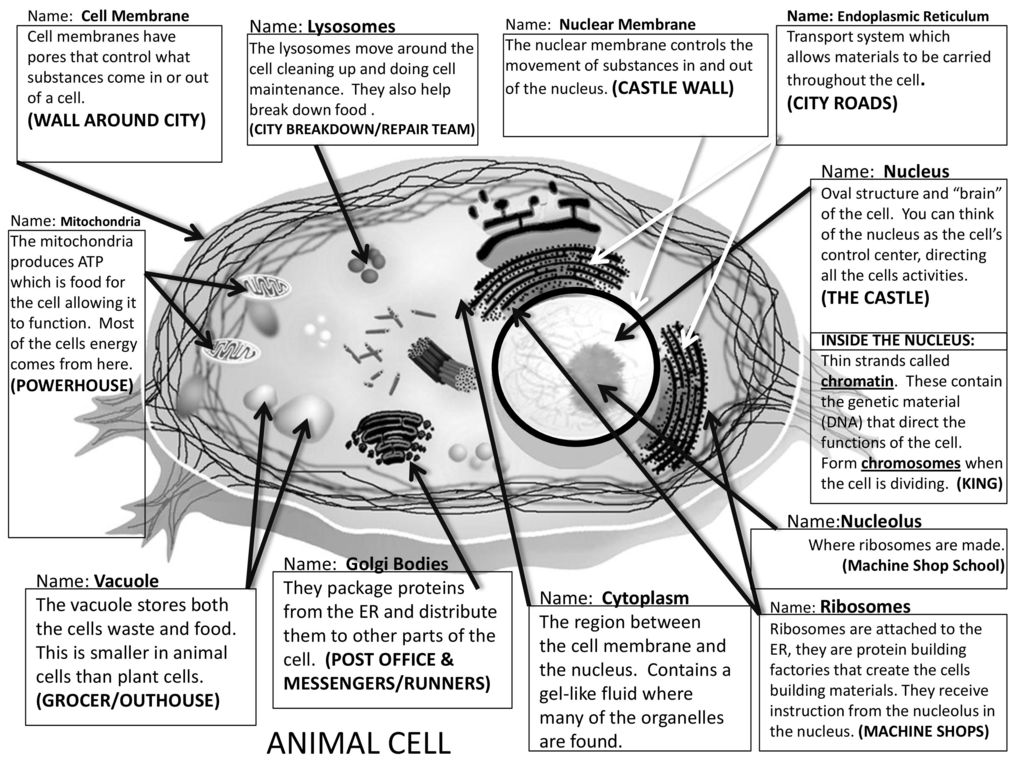 Inside Animal Cell Coloring Page New Activities 3d Plant Diagram 7th Grade Images Pictures Becuo Name Lysosomes City Roads Wall Around Ppt