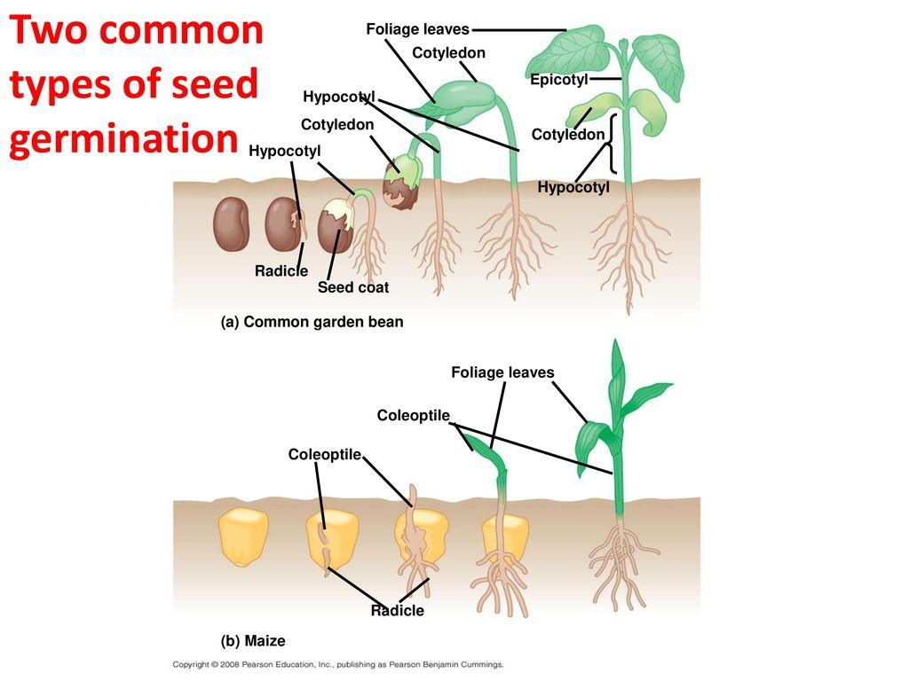 Faculty Of Science School Sciences Natabua Campus Lautoka Bean Seed Germination Diagram Two Common Types